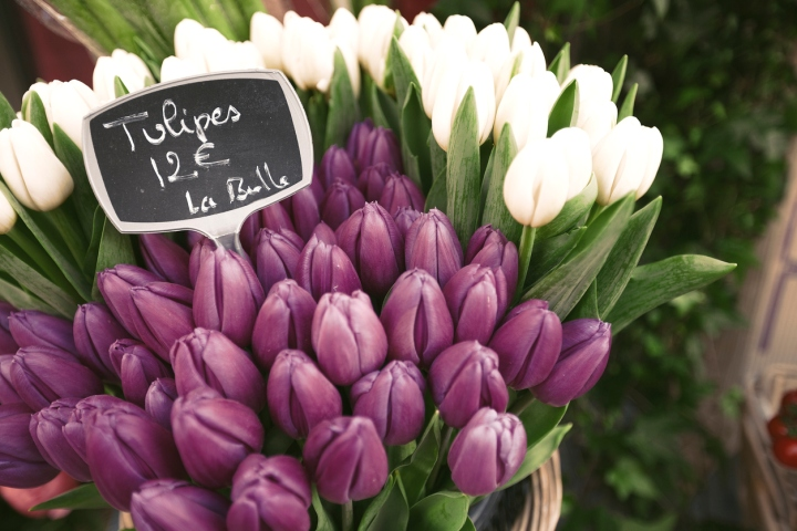 Purple tulips indoor flowers in winter
